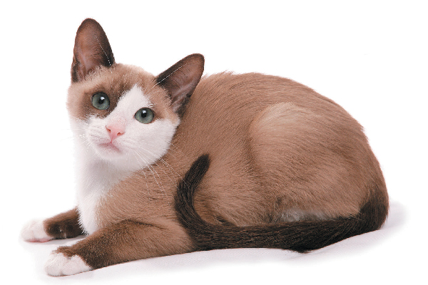 A Snowshoe cat.