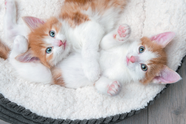 How to Care for an 8- to 12-Week-Old Kitten