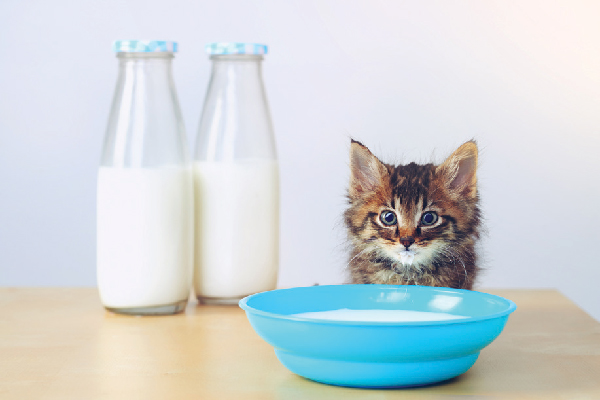 A small tabby kitten looking at a glass of milk.