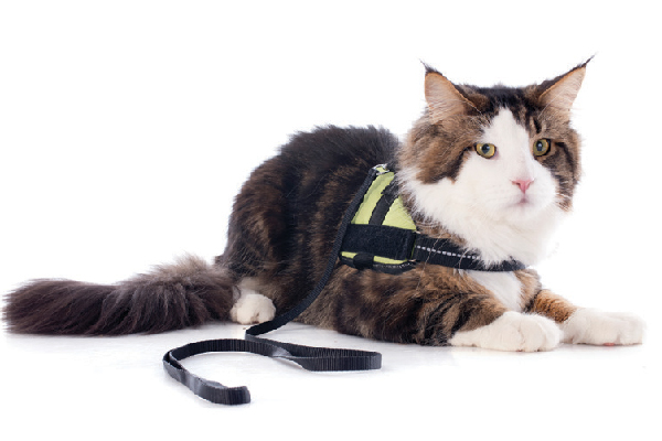 A cat with a harness and leash.