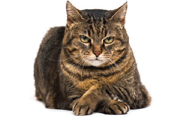 A brown tabby cat with arms crossed.