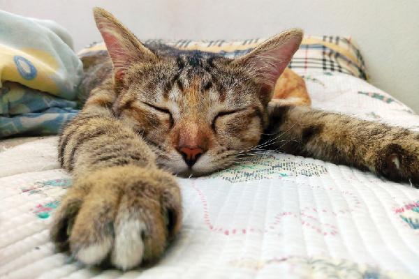 A brown tabby cat asleep on a bed.