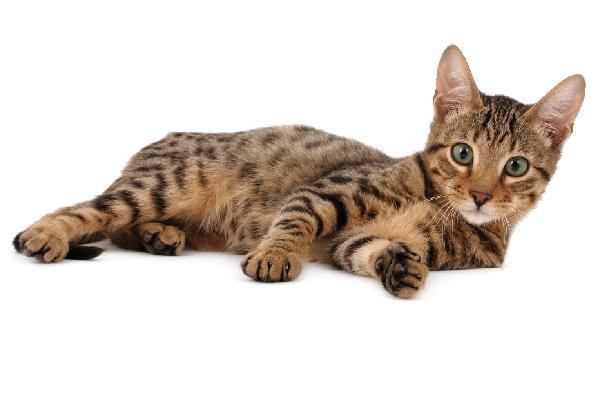 A tabby Serengeti cat.