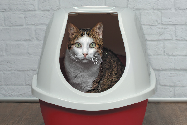 A cat in a litter box.