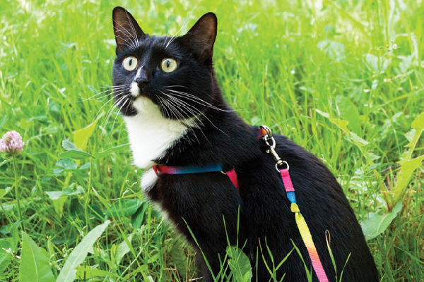 A cat outdoors in a harness or leash.