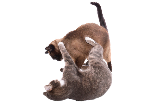 Two cats wrestling and fighting.