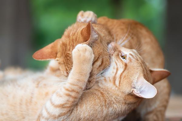 Two orange ginger tabbies biting and wrestling.