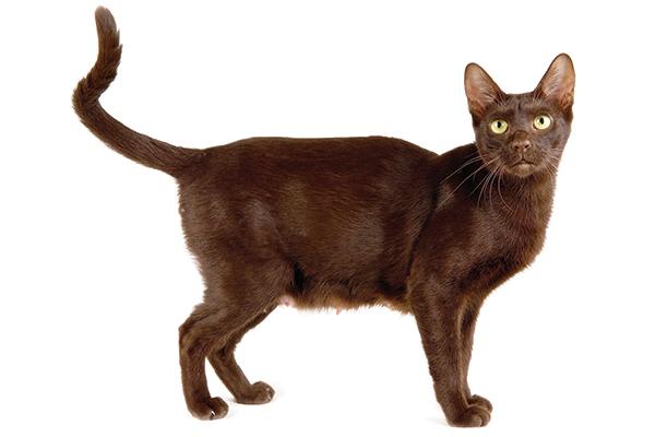 13 Reasons to Meet the Heavenly Havana Brown | Catster