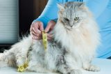 An overweight fat cat with measuring tape around her.