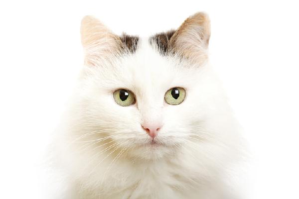 Turkish Van Cat.