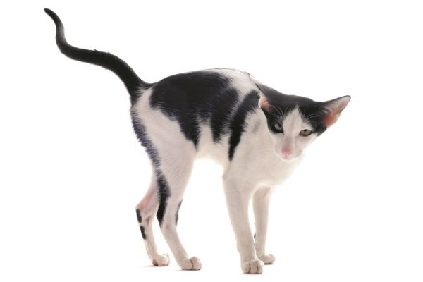 Why Do Cats Spray Urine?