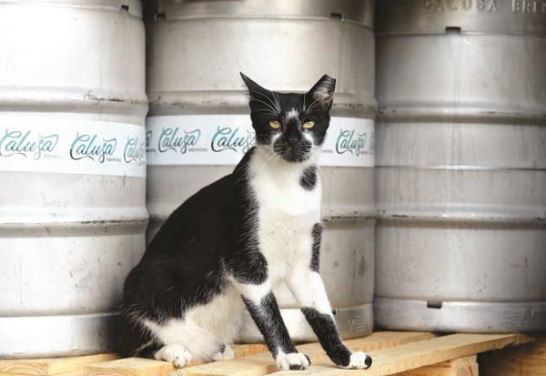 cat at Calusa brewery