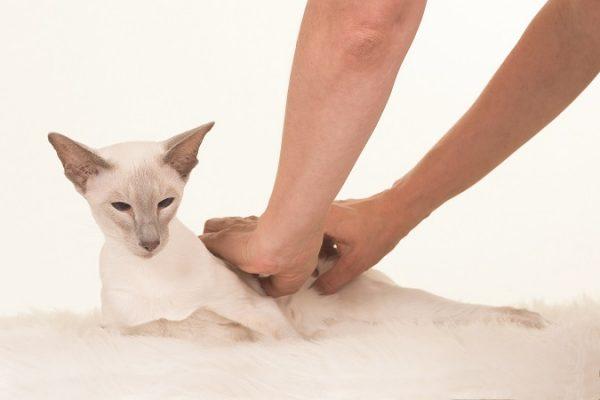 massaging cat