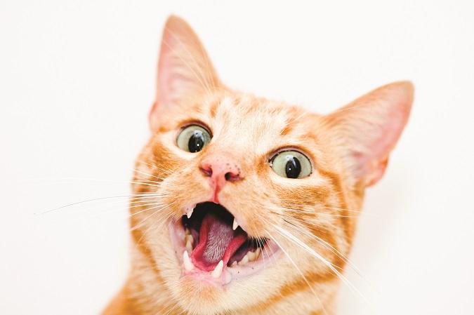cat showing teeth