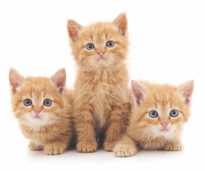 kitten adoption california