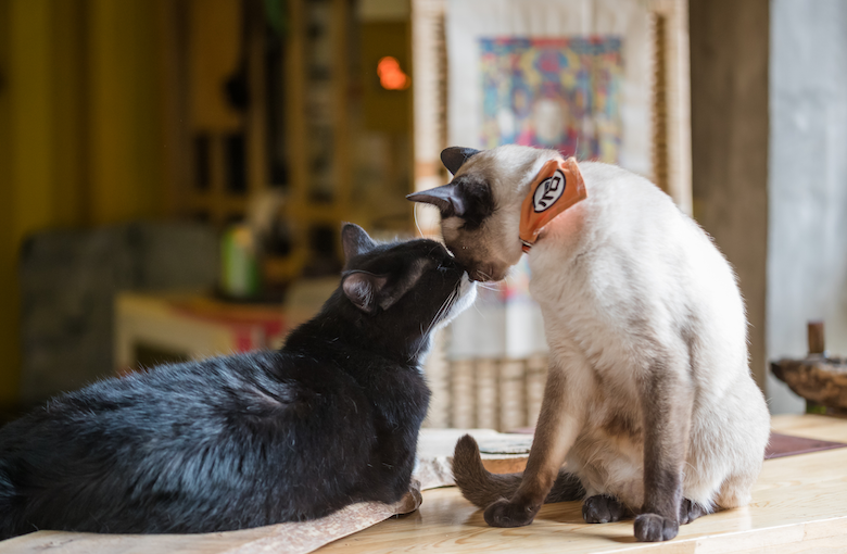How to Introduce Your Cat to a New Cat | Catster