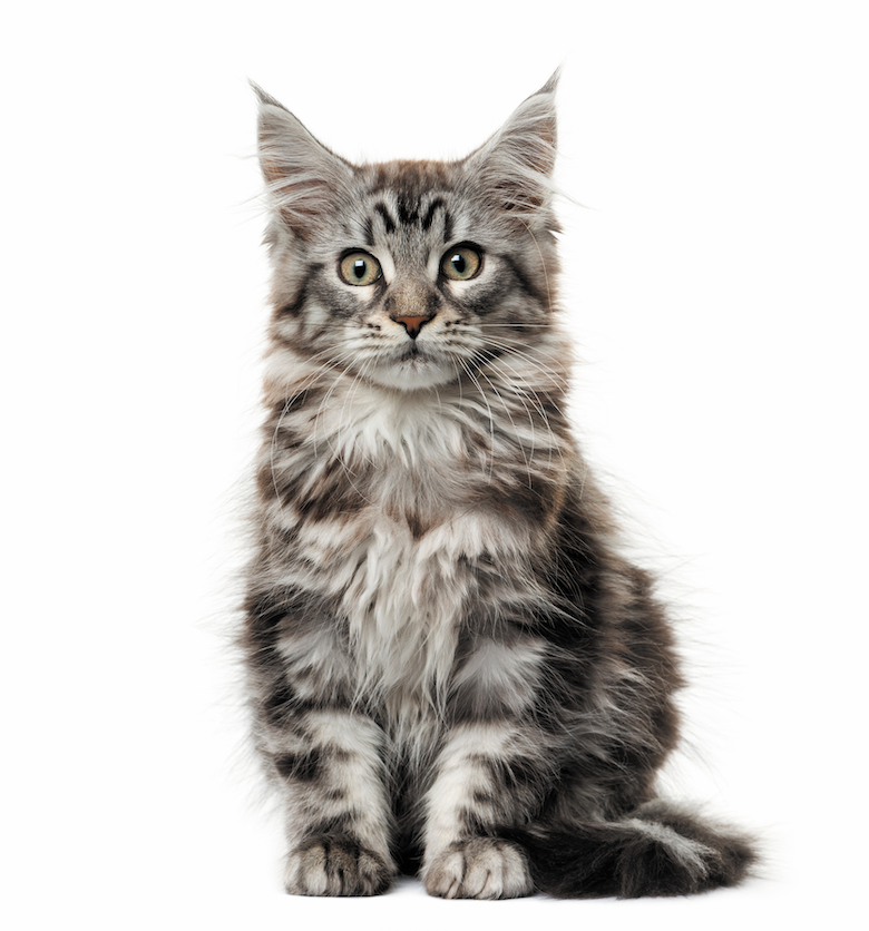 20 Of The Most Popular Cat Breeds Catster