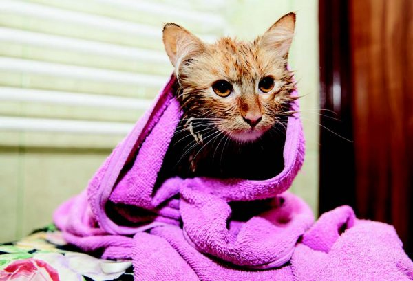 cat fleas: orange cat in purple blanket