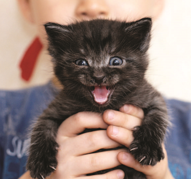 how to foster a kitten - black kitten meowing