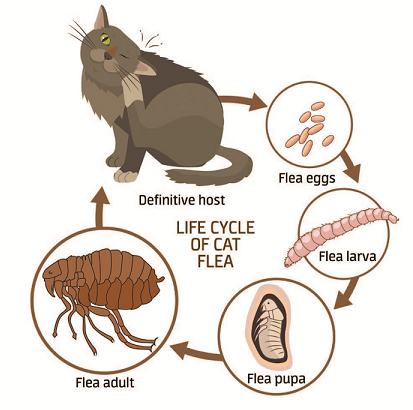 cat fleas lifecycle graphic